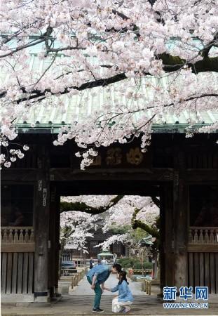 日本东京:樱花满开风情浓(组图)