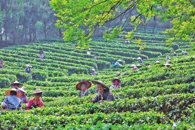 贵港市茶叶产业实现持续健康发展