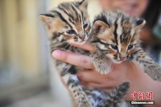云南野生动物园收容救助小豹猫 呆萌惹人爱