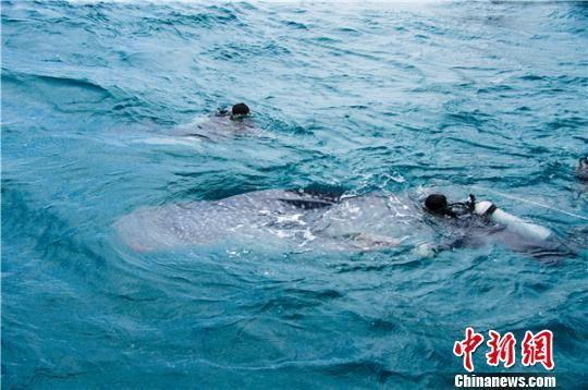 4月13日,曾经受伤的鲸鲨在陵水双帆石附近海域被放归大海。 胡阳 摄