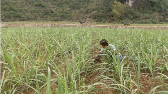 水口镇:抓住农时搞好甘蔗田间管理工作