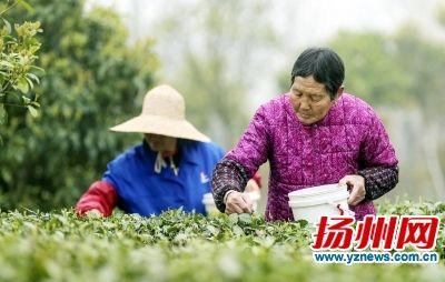 探访扬州茶农手工制茶过程 1斤干茶要3个小时