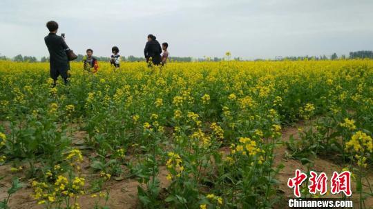 河北衡水邓家庄万亩油菜花竞放引众多游客观赏