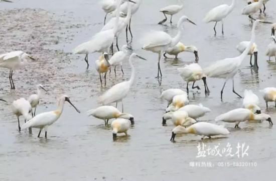 盐城大丰滩涂现120余只全球濒危物种黑脸琵鹭