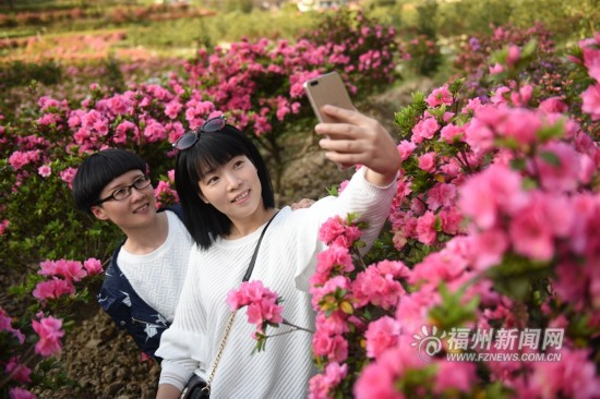 福州罗源县西洋村特色杜鹃盛开一派芳菲 吸引游客观光