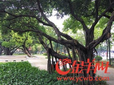 人民北路上的榕树造型别致。越秀区也拟增种花树,但并未打算换掉榕树