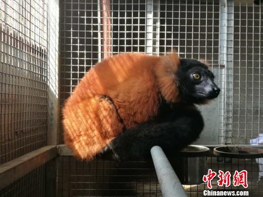 世界级濒危物种红领狐猴在天津进行隔离检疫