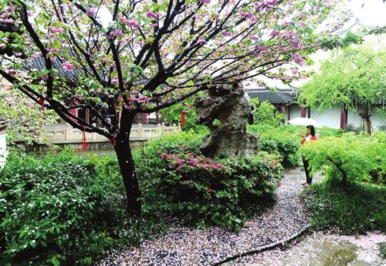 雨中樱花美山塘