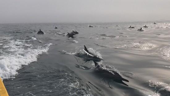 """南澳岛海域上演""""海豚竞速"""""""