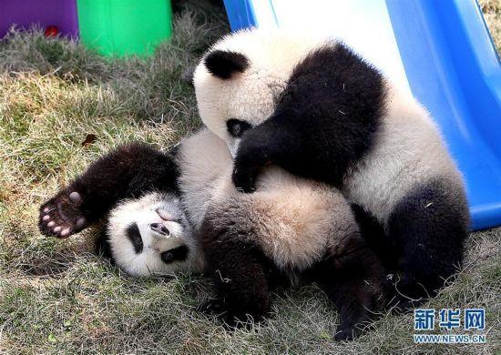 """合起来就是胖!大熊猫龙凤胎得名""""月月""""""""半半"""""""