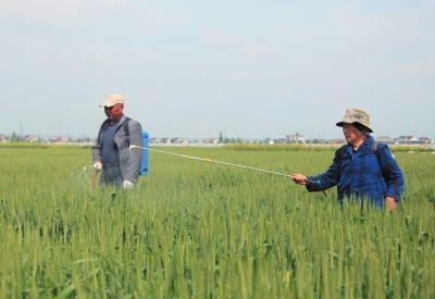 南通海安农民对小麦进行病虫害防治 确保丰收