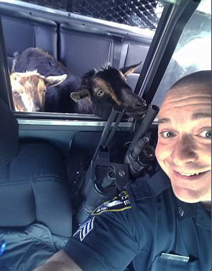 美侏儒山羊走失遇民警乘警车回家