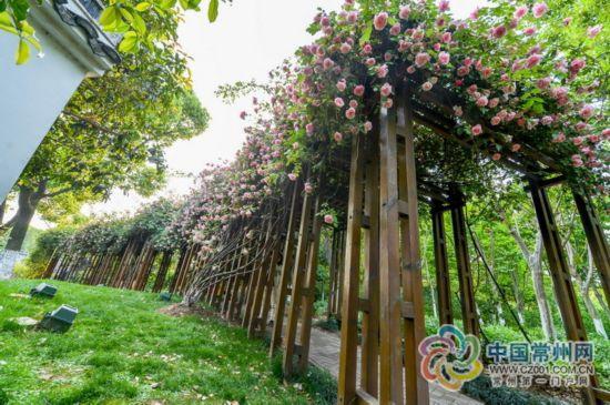 中国古老月季已知共有近40种 常州基本集齐