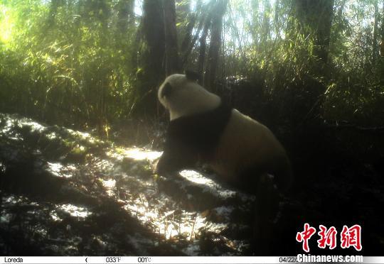 """卧龙自然保护区:4月3次拍到野生大熊猫""""圈地恋爱"""""""