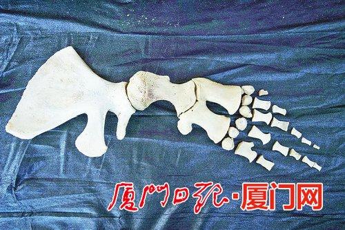 抹香鲸的鳍骨有类似人类手指的骨骼结构.