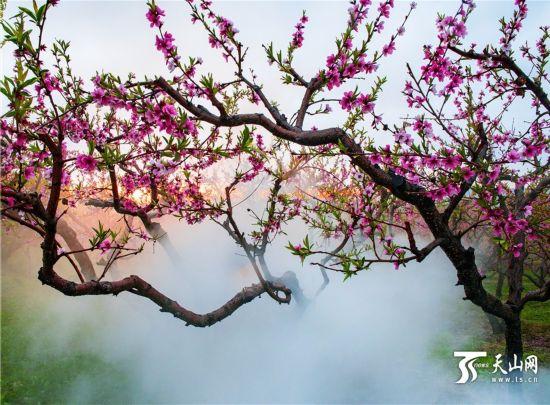 新疆霍尔果斯格干沟牧场大片桃花盛开美如画(组图)