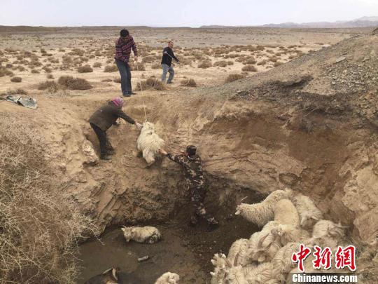 甘肃肃北羊群被困深坑边防官兵肩扛解救