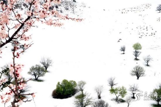 新疆新源县那拉提大草原五月飞雪 犹如水墨画卷(组图)