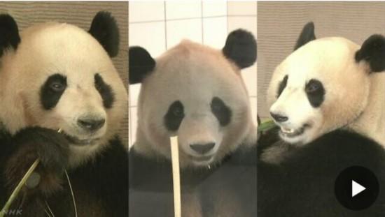 日本3只大熊猫拟6月前往成都 动物园将办欢送会--陕西