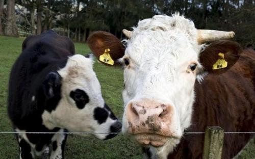 奶牛(资料图)