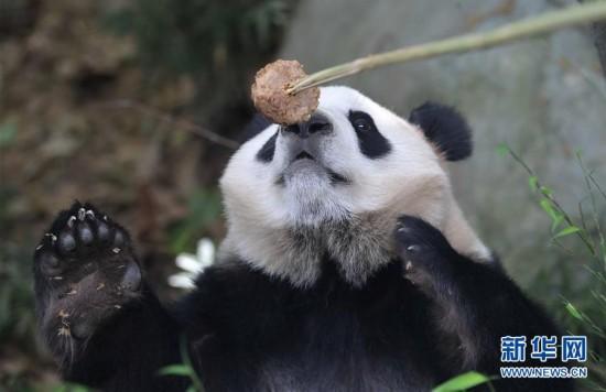 """中国大熊猫""""和兴""""""""毛二""""将旅居丹麦"""