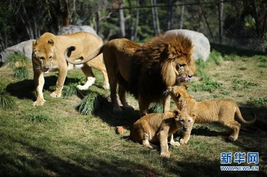 5月4日,在智利首都圣地亚哥附近的布因动物园,一对小狮子和它们的