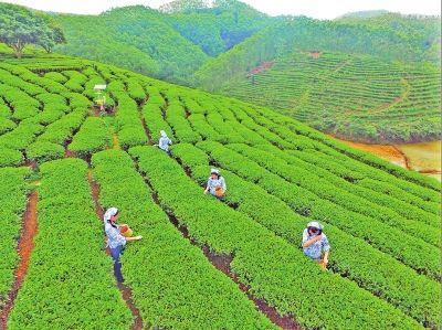 茶树吐新芽