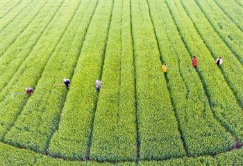 泰州农事生产进入繁忙时节 各地农民抢抓农时