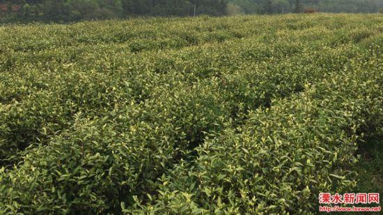 南京溧水一茶场入选江苏省农业标准化试点项目