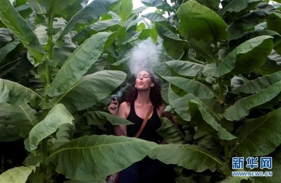 尼加拉瓜的烟草种植场