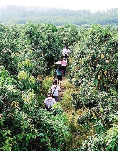 昌江:芒果之乡美名扬