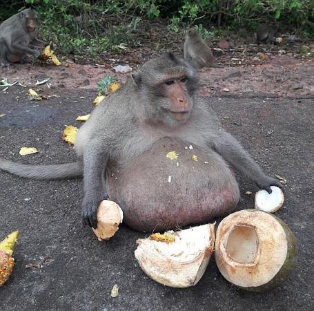 """猴子吃成15公斤""""胖叔"""" 因超重被送减肥营运动(图)"""