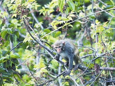 野生猕猴在亚龙湾亚龙岭林中觅食