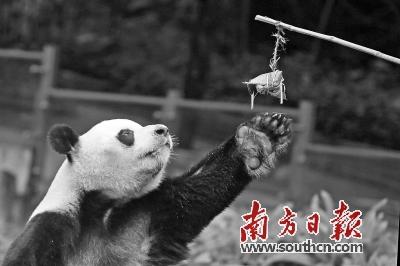 """25日,深圳野生动物园的动物小伙伴提前过节,吃上了香喷喷的""""特制粽""""."""