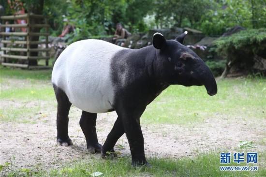 波兰动物园的马来貘