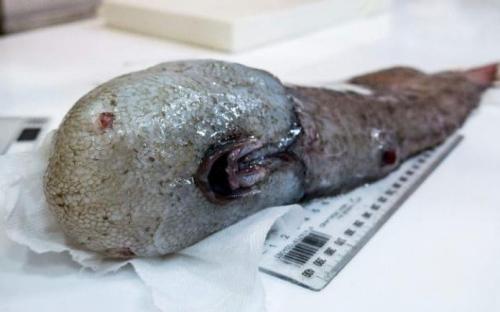 """澳深海发现奇特生物 包括""""无脸""""鱼和食肉海绵"""