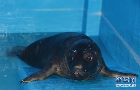 """國內首隻人工哺育成活灰海豹""""六一""""亮相"""