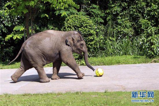 位于滇西南的亚洲象乐园