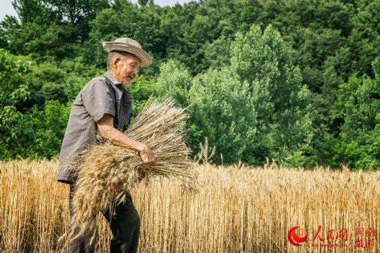 """俗话说:蚕老一时,麦熟一晌。麦收一定要抢时机,一旦误了时机,收成就会大打折扣。6月1日,在河南省平顶山鲁山县叶坪村,92岁的高大爷正忙着收割小麦。虽然已经92岁高龄,但高大爷精神矍铄,身板骨硬朗。割麦、碾场等农活样样精通,是村里农活上的""""老把式""""。来源:人民网 文字 宋芳鑫 摄影 何元生"""