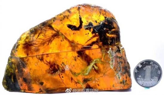 人类首次在琥珀中发现古雏鸟 距今9900万年(组图)