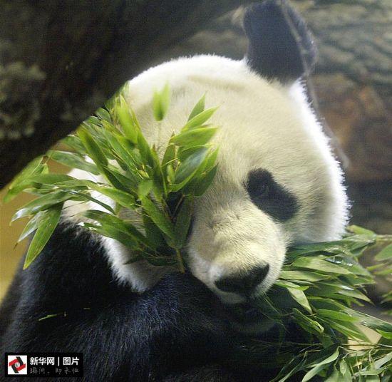 那些留洋的大熊猫:你在他乡还好吧