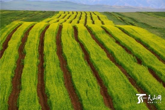 新疆兵团九师一六八团万亩油菜花进入盛花期(图)