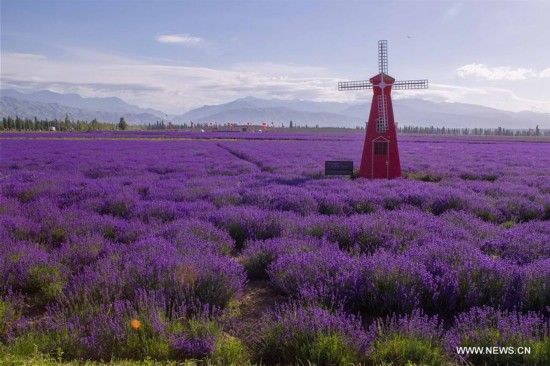 7th int'l lavender tourism festival starts in N.W. China