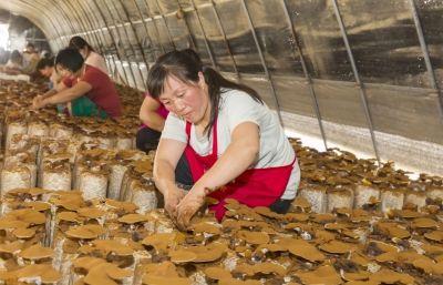 南通海安南莫镇建温室大棚种灵芝带动农户致富