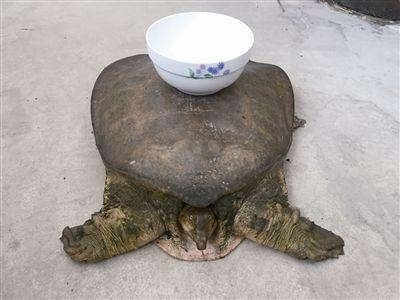 南通海门一村民钓起18.6斤重特大甲鱼