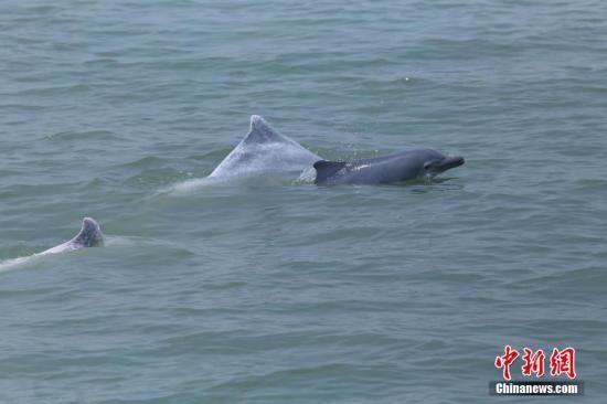 广西北部湾中华白海豚数量稳定上升