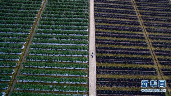 从田间到菜篮――供港蔬菜的跨境之旅