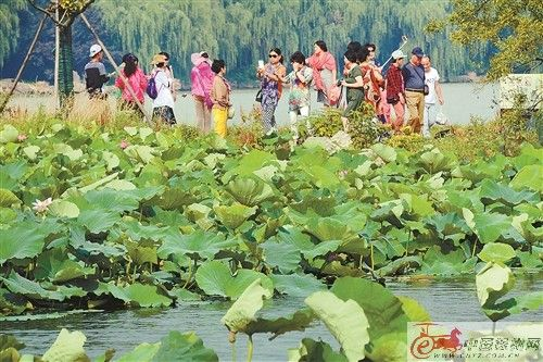 徐州正值赏荷佳季 吸引市民游客前来赏荷
