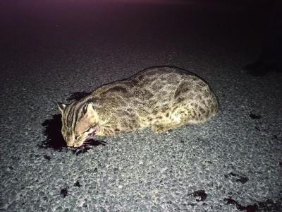 连云港一只豹猫深夜撞上出租车 警民联手救治