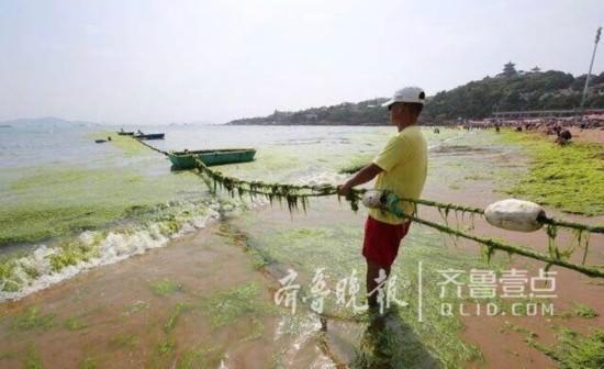 来青浒苔少了一半多 原是苏北养紫菜方式变了